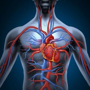 vascular-function